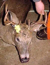 Mountain Howitzer Deer