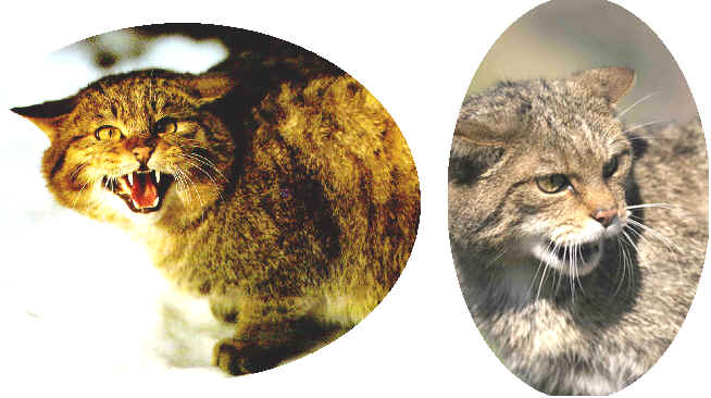 Feral Cats to be hunted with Coehorn Mortar Cannon