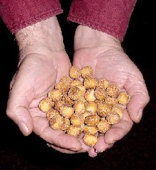 camel spider eggs in hands